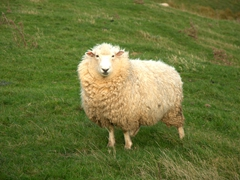 Curious sheep; Otago Peninsula