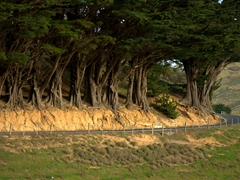 Massive trees line the roadside; Otago Peninsula