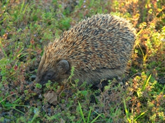 Stopping to let this hedgehog cross the road; Oamaru