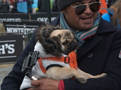 This cute pug had all the ladies swooning; Queenstown Winter Festival