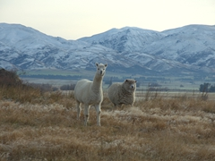 An alpaca and sheep greet us in sleepy Ophir