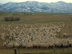 Sheep stampede; Central Otago