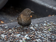 Dunnock (hedge sparrow); Queenstown
