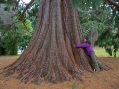 Becky hugs a giant sequoia; Queenstown Gardens