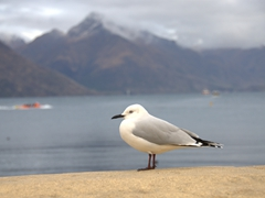 Seagull; Queenstown Harbor