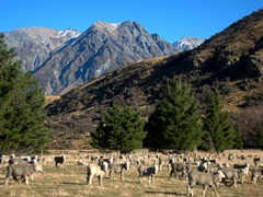 Merino sheep thrive in the region around Mt Potts Station