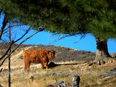 Highland cattle (hairy coo); Mt Potts Lodge