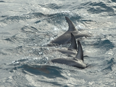 Dolphins waving hello with their side flippers