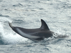 """A dusky dolphin """"talking"""" to another with a tail slap; Kaikoura"""