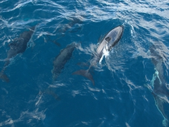 Dusky dolphins getting excited to swim alongside us; Kaikoura