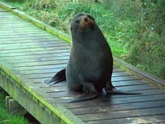 A fur seal blocks the path at Point Kean lookout; Kaikoura