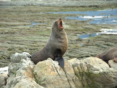 A New Zealand fur seal yawns loudly; Kaikoura