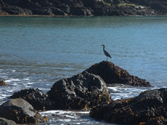 Heron at Te Pohue(Camp Bay); Banks Peninsula