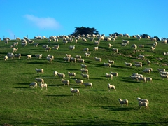Sheep farm; Okains Bay