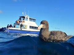A southern giant petrel swims over to see what all the fuss is about