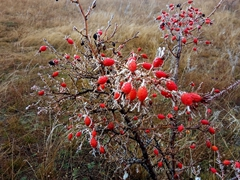 Frozen rosehips; Clay Cliffs
