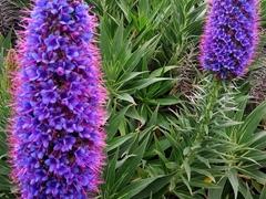 Purple lupine flowers; Kaikoura