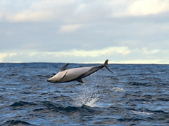 Dusky dolphin leaping for joy