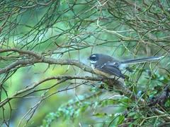 Fantail; Hokitika Gorge