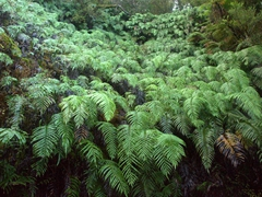 Cascade of ferns; Lake Matheson