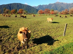 Curious cow; Hokitika