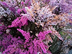 Purple flowers; Reefton