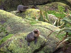 Fur seals; Cape Foulwind