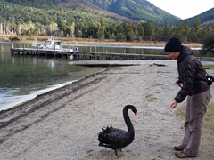 Becky feeding a black swan; Lake Rotoroa