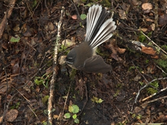 A persistent fantail begs for food