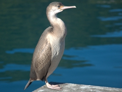 Shag sitting on the pier by the Edwin Fox Maritime Museum; Picton