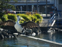 A shag drying its wings; Picton