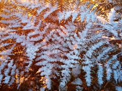 Fresh snow on ferns; Mount Robert
