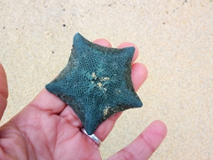 Blue starfish; Anchorage Beach