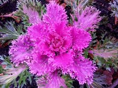 Ornamental Purple Cabbage Plant; Christ Church Cathedral garden in Nelson