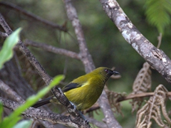 New Zealand bell bird; Abel Tasman