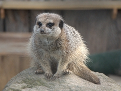 Meerkat; Brooklands Zoo in New Plymouth
