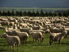 Sheep farm; Pirinoa