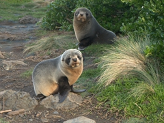 Fur seals; Cape Palliser