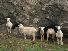 Sheep in a cave; near Ngawi