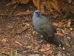 North island kokako, the most engaging and interactive bird at the Mount Bruce Wildlife Center