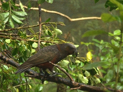 Kaka, a native New Zealand parrot