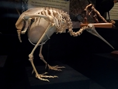 Skeleton of a kiwi, showing the massive size of an egg in relation to the mother's body; Te Papa Museum