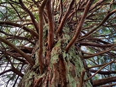 Redwood tree; Hamurana Springs