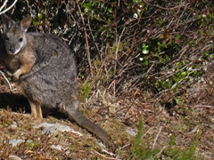 Wallaby; Mount Tarawera