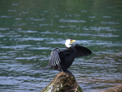 Shag in a spread-wing position; Lake Taupo