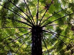 Tree fern canopy; Paihia School Track