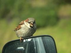 Hungry bird demanding food; Karekare parking lot