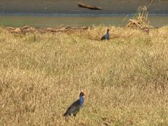 Pukeko (swamp hens) at Karekare Beach
