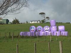Purple wrapped bales of hay; Matakohe