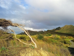 Wind swept tree; Omapere Lookout